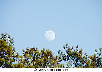 Full Moon Over Pine Trees in Day