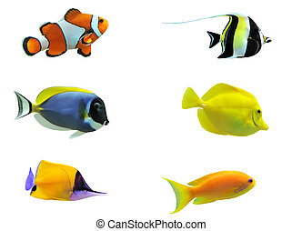 tropical fish - full side view of tropical fish isolated on...