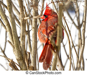Full View of Red Cardinal