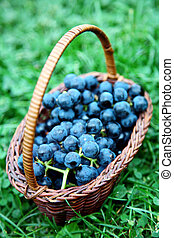 Full wicker basket of black grapes in he summer garden