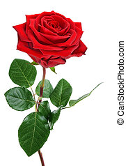 Fully blossomed, perfect red rose with stem and leaves, studio isolated on pure white background
