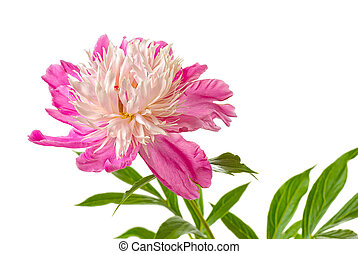 pink peony - fully opened flower of pink peony isolated on ...