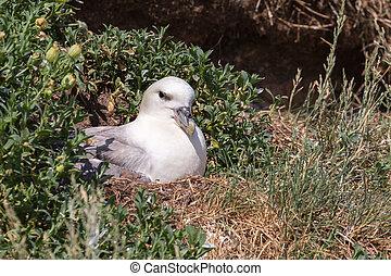 Fulmar sitting on nest in wild habitat