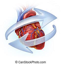 función, corazón, humano