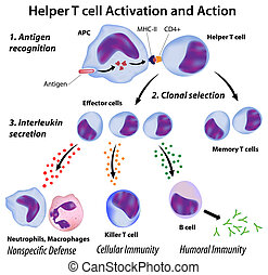 Function of T helper cells, eps8