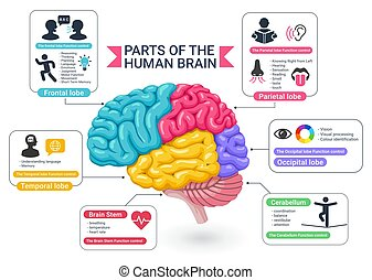 Functional areas of the human brain diagram vector illustrations.