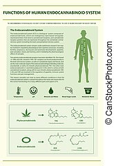 Functions of Human Endocannabinoid System vertical infographic