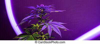 fundo, bandeira, roxo, cannabis, longo, planta, marijuana
