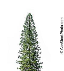 fundo branco, isolado, árvores, pinho
