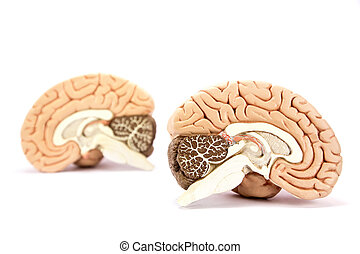 fundo, cérebros, isolado, human, modelo, branca