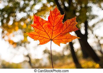 fundo, de, bonito, maple outono sai