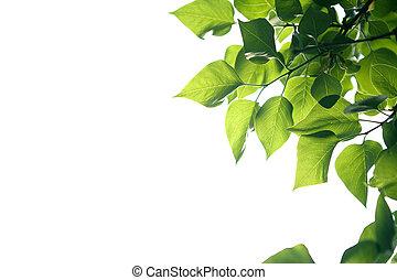 fundo, sobre, verde, ramo, branca, folhas