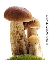funghi, bianco, -, ceps