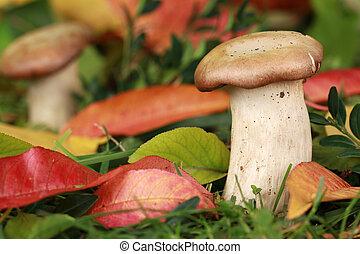 funghi, crescente, in, uno, foresta
