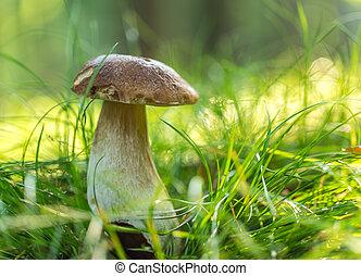 funghi, foresta,  boletus