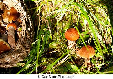 funghi, in, foresta