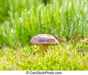 funghi, in, foresta autunno