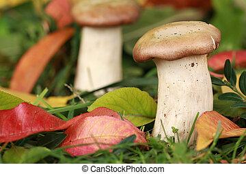 funghi, in, uno, foresta