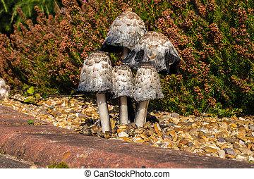 funghi, ispido, inchiostro, cappucci