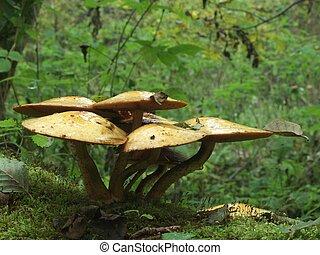 funghi, mazzo