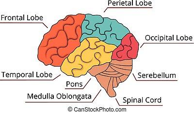 funktion, hjärna, diagram