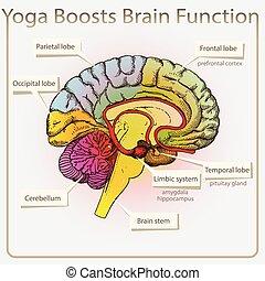 funktion, hjärna, yoga, boosts
