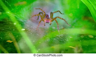"Funnel Weaver Stands Guard over his Web - ""Funnel weaver..."