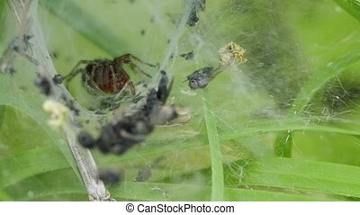 funnel-web spider, Agelena labyrinthica