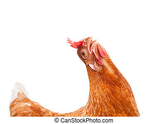 funny acting of brown female chicken hen isolated white backgrou