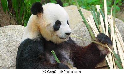 Funny adult panda eating bamboo. Video 4k