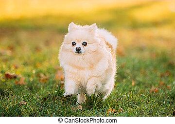Adult White Pomeranian Spitz Dog Running Outdoor In Autumn Grass