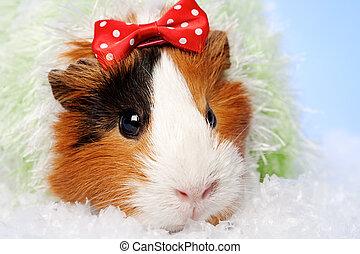 Funny Animals. Guinea pig Christmas portrait