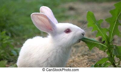 Funny baby white rabbit eat green grass.