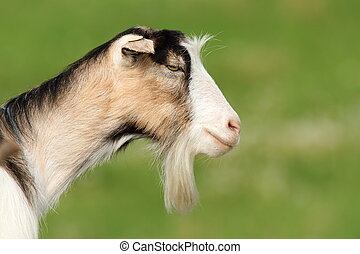 funny bearded goat
