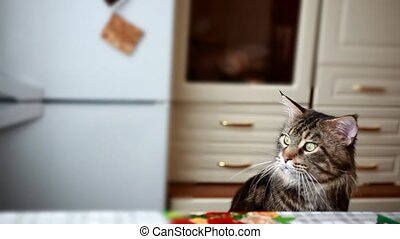 Funny beautiful Funny Maine coon cat black tabby colored sits at the table and looks at window. 1920x1080