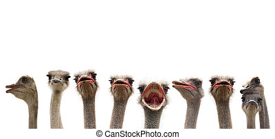 funny birds - nine funny ostriches on white