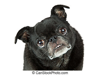 Portrait funny attentive black pug purebred dog looking into camera and tilting head