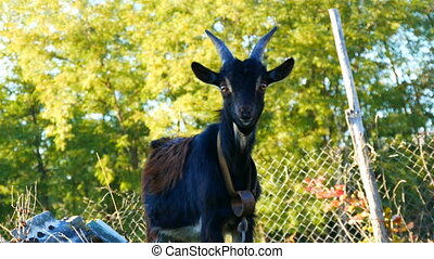 Funny black young goat grazes on the grass in a village -...
