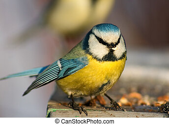 Funny blue tit