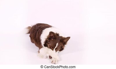 Funny Border Collie dog lying on white background - Lovely...