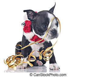 Funny Boston Terrier puppy dressed up for Christmas and tangled up in ribbon.