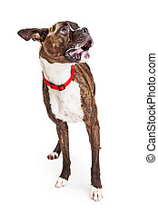 Funny Boxer Dog Looking to Side