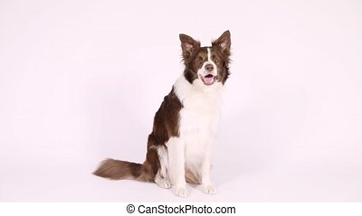 "Border Collie dog executes the command ""turn around"" - Funny..."