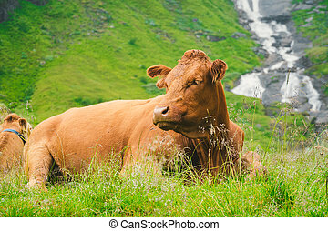 Funny brown cow on green grass in a field on nature in scandinavia. Cattle amid heavy fog and mountains with a waterfall near an old stone hut in Norway. Agriculture in Europe