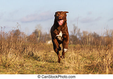 funny brown dog runs across the field