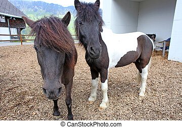 Funny brown horses at farm, taken in Swiss Alps