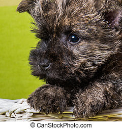 Funny Cairn Terrier puppy dog muzzle close-up