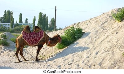 Funny camel chewing grass. Desert camel chewing camel-thorn.