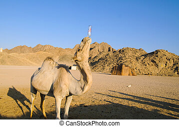funny camel - funny drinking camel over blured rocks and...