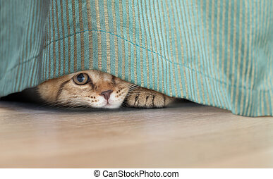 funny cat hidden under curtain - Funny cat looking through ...